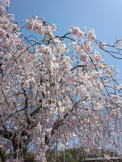 枝垂桜。。。
